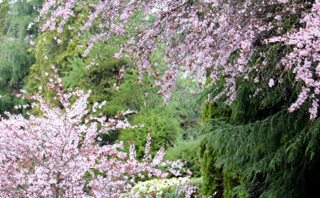 spring blooming trees after rain