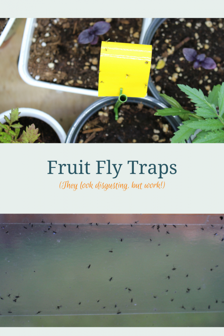 fruit fly traps our go-to gardening resources