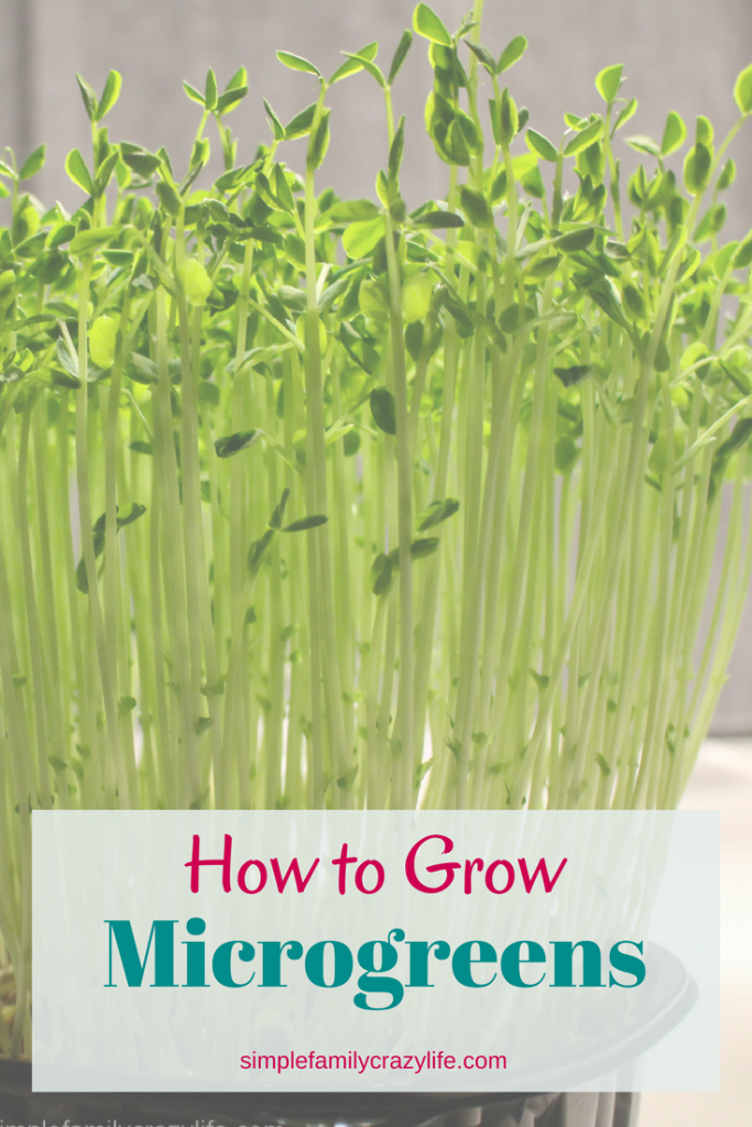 Learn how to grow microgreens at Simple Family Crazy Life