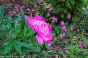 Front Yard Transformation Challenge - Week 1 - Peony