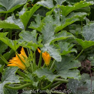 Gardening with Kids - Squash Plant